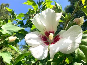 garten hibiskus garten eibisch hibiscus syriacus. Black Bedroom Furniture Sets. Home Design Ideas
