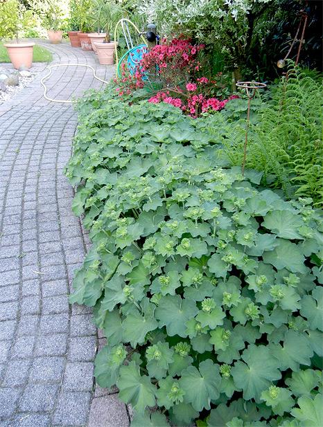 für den Garten der wunderschöne Frauenmantel !
