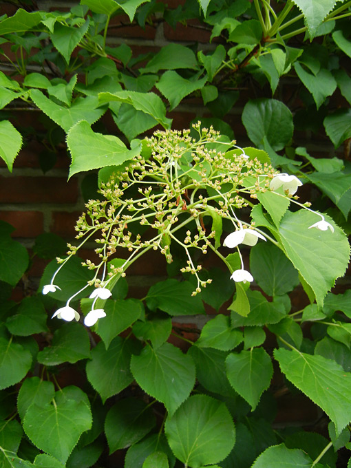 kletterhortensie hydrangea anomala ssp petiolaris. Black Bedroom Furniture Sets. Home Design Ideas