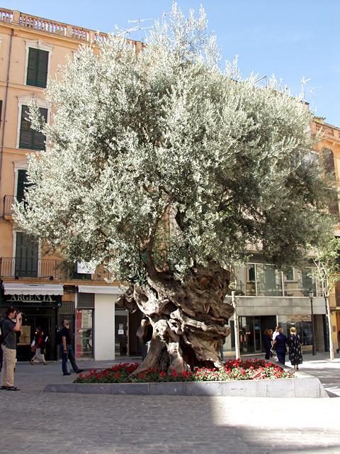 olivenbaum olea europaea. Black Bedroom Furniture Sets. Home Design Ideas